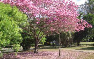Tanah Jual Pohon Tabebuya Pink