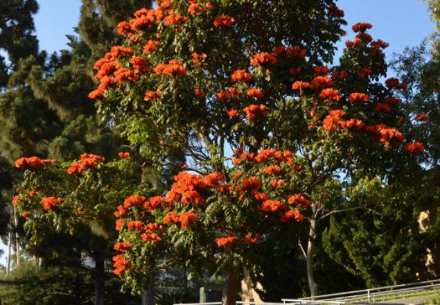 Kopinya Jual Bibit dan Pohon Spathodea