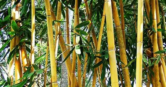 Jual Bambu Jakarta Siap Tanam Berbagai Ukuran