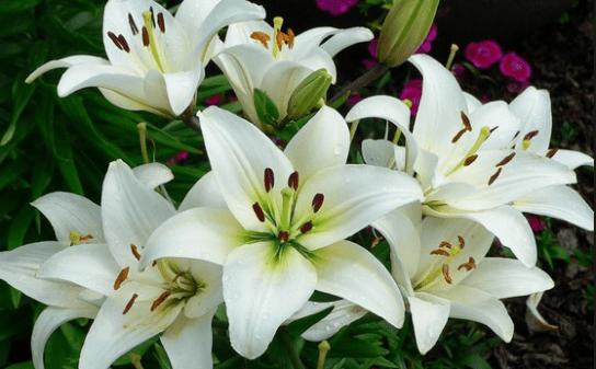 Bibit Tanaman Bunga Bakung Siap Tanam Kualitas Bagus