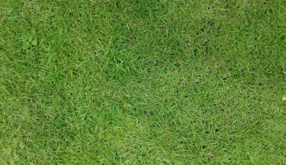 Bibit Tumbuhan Rumput Jepang Harga Murah