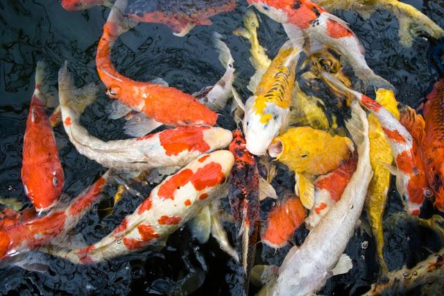 Harga Bibit Ikan Koi Kediri Kualitas Bagus